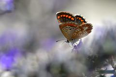 scatti estivi (luporosso) Tags: natura nature naturaleza naturalmente nikon nikond500 nikonitalia farfalla farfalle butterfly butteflies mariposa borboleta licenide licenidae macro closeup abigfave