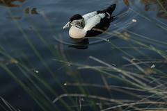 Handsome eider (m) (PChamaeleoMH) Tags: barnes birds eider london wwtbarnes wetlandcentre