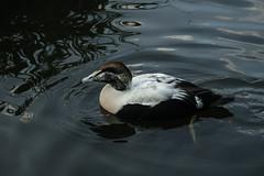 Eider (m) (PChamaeleoMH) Tags: barnes birds eider london wwtbarnes wetlandcentre