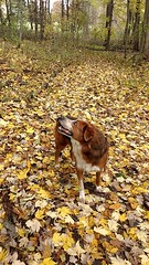 Fall 🍁 (kingkuehn92) Tags: fall maximus max dog puppy pup woods woodsman forest trees leaves leaf outside love passion family asparagus aussieshepherd shepherd michigan