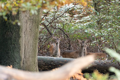 Photo of Muntjac Deer, Epping Forest, England.