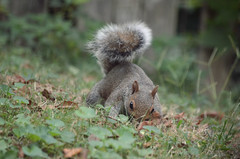 2019-09-12 (5) eastern grey squirrel by our house (JimFleenor) Tags: photos photography md maryland bowie bowiemd neighborhood animals wild wildlife outside outdoors nature natural free grey gray squirrel eastern mammal rodent