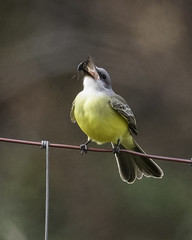 tropical kingbird (material guy) Tags: tropicalkingbird rockmeadow belmont massachusetts