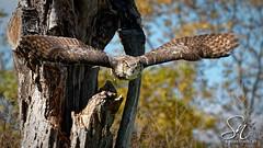Great Horned Owl 5576-19 (StacyN - MichiganMoments) Tags: stacyniedzwiecki canada raptor birdofprey bird flight flying ontario owl greathornedowl bubovirginianus
