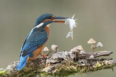 Kingfisher (peterspencer49) Tags: peterspencer peterspencer49 kingfisher somerset southwest uk bird fish fishing