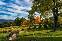 Fall Vineyard in the late day sun... (pa_cosgrove) Tags: fall autumn foliage vineyards vines grapes trees sky clouds landscape canandaigua ny sony a73 stonewall