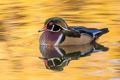 October 19, 2019 - A wood duck on a golden pond. (Tony's Takes)