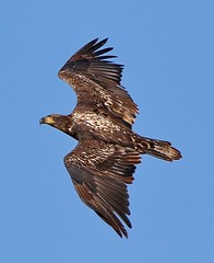 October 20, 2019 - A young bald eagle soars in Adams County. (Bill Hutchinson)