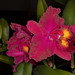 Blc. Sanyung Ruby x Pot. Oconee Circle – Alex Nadzan