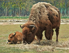 Nanny Buffalo (scilit) Tags: buffalo bison americanbison wildlife animal cattle herd calves farming stepped plains prairies grass hay forest trees rocks stream horns fur beefalo zubron coth coth5 sunrays5 ngc npc
