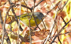 Nashville Warbler - Beatty Point - © Candace Giles - Oct 19, 2019