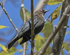 Rusty Blackbird - Beatty Point - © Rosemary Reilly - Oct 19, 2019