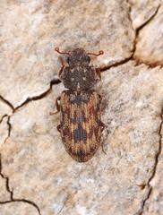Cicones undatus (timz501) Tags: ciconesundatus colydiidae jersey beetle