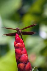 Happy Red, Pt. 3 - _TNY_3851 (Calle Söderberg) Tags: macro canon canon5dmkii canoneos5dmarkii canon5dmarkii 5d2 canonef100mmf28usmmacro vietnam phuquoc mercuryphuquocresortvillas insect dragonfly trollslända odonata red redgrasshawk parasol commonparasol grasshawk darkwings libellulidae segeltrollslända neurothemis fluctuans flowerbud ginger redbuttonginger indianheadginger redcane scarletspiralflag costus woodsonii x f56