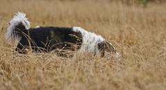19-oktober-Venus&Kollý-aettarmot-Silungapollur_0173 (Stefán H. Kristinsson) Tags: venus kollý reunion dog dogs hundur hundar october 2019 október winter vetur ættarhittingur nikon70200f4 nikond800 playing fun silungapollur reykjavík heiðmörk