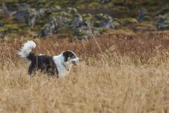 19-oktober-Venus&Kollý-aettarmot-Silungapollur_0142 (Stefán H. Kristinsson) Tags: venus kollý reunion dog dogs hundur hundar october 2019 október winter vetur ættarhittingur nikon70200f4 nikond800 playing fun silungapollur reykjavík heiðmörk