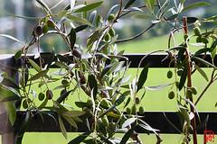 Des olives clodoaldiennes (mamnic47 - Over 11 millions views.Thks!) Tags: chezmoi saintcloud 6c8a6520 olivier olivierbonsaï olives