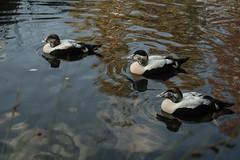 Eiders (m) (PChamaeleoMH) Tags: barnes birds eider london wwtbarnes wetlandcentre
