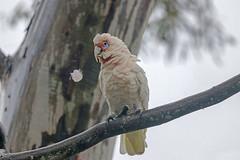 Long-billed Corella (Alan Gutsell) Tags: longbilledcorella long billed corella parrot australianparrots queenslandbirds queensland eagleby wetlands noisy birds photo wildlife wildlifephoto alan