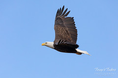 October 22, 2019 - Bald eagle in flight in Adams County. (Tony's Takes)