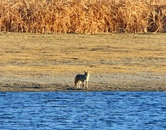 October 22, 2019 - Coyote on the lake. (Bill Hutchinson)