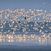 Royal terns, Sandwich terns, Least terns, Forster's Terns, Caspian Terns and Black Skimmers taking flight on the Gulf Coast, North Beach, Fort De Soto Park, Saint Petersburg, Florida