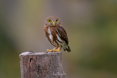 Central-american-pygmy-owl_NGR6191 (ninograngetto@hotmail.com) Tags: aves buho owls costa rica nikon d5 naturaleza central american pygmy owl
