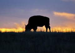 October 20, 2019 - Silhouetted bison at sunrise. (Bill Hutchinson)