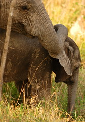 The Tenderness of Young Siblings (DeniseKImages) Tags: wildlife africa elephant elephants grey green grass bush africanbush southafrica nature wild animal animals wildanimals wildanimal bigfive
