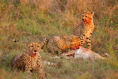 An Exhausted Cheetah Mother Rests While Her Young Feed on a Fresh Kill (DeniseKImages) Tags: wildlife africa bigcat cat cheetah cheetahfamily cheetaheating grass bush africanbush southafrica nature wild animal animals wildanimals wildanimal yellow spots spot