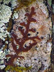 Lichen Hike (BlueRidgeKitties) Tags: blueridgeparkway southernappalachians westernnorthcarolina flatrocktrail frullania liverwort