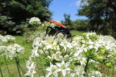 Pepsini-Tarantula Hunting Wasps (Matí Matias) Tags: