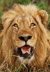 Bold and Beautiful (DeniseKImages) Tags: wildlife africa bigcat cat lion lions grass bush africanbush southafrica nature wild animal animals wildanimals wildanimal bigfive yellow