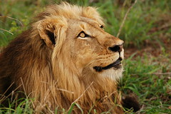 Keeping an Eye on the Vultures (DeniseKImages) Tags: wildlife africa bigcat cat lion lions grass bush africanbush southafrica nature wild animal animals wildanimals wildanimal bigfive yellow green