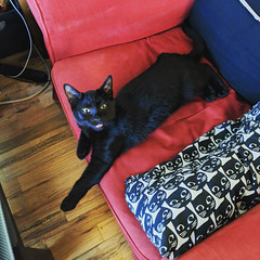 20190929 - Instagram 6 (Snow Dragonwyck) Tags: black cat kitten murtagh chair steal sassy bymike