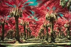 date palms (color infrared xpro). mecca, ca. 2019. (eyetwist) Tags: eyetwistkevinballuff eyetwist color infrared desert mecca palms palmtrees vanishingpoint infinite california saltonsea mediumformat 6x9 xpro fujifilm gsw690iii fujinon 65mm f56 fujifilmgsw690iii fujinon65mmf56 kodak aerochrome eir kodakektachromecolorinfrared ishootfilm ishootkodak cross process processed saturated bold texasleica 120 gsw 690iii wideangle panoramic film emulsion lenstagger filmexif epsonv750pro iconla socal plantation rows order ca111