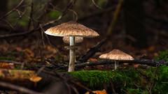 Im Dunkeln Wald (KaAuenwasser) Tags: dunkelheit dunkel wald pilze hut natur lebensweise leben wachsen fichten oktober 2019