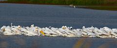 Pelicans fishing (dhkaiser) Tags: pelicans fishing dan kaiser