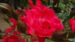 Rosa y Araña-Rose and Spider (Matí Matias) Tags: