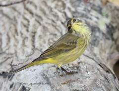Palm Warbler (Mary Sonis) Tags: bird warbler wildlife migration jordan lake