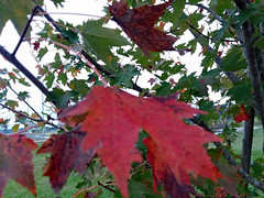 Green And Red Leaves. (dccradio) Tags: lumberton nc northcarolina robesoncounty tuesday morning tuesdaymorning goodmorning samsung galaxy smj727v j7v cellphone cellphonepicture outdoors outdoor outside nature natural tree trees branch treebranch treebranches branches northeastpark raymondbpenningtonathleticcomplex penningtonathleticcomplex park citypark leaf leaves foliage autumn fall cloudy overcast grass lawn greenery yard ground