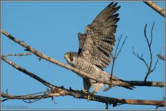 Peregrine Falcon 5810 (maguire33@verizon.net) Tags: falcoperegrinus peregrinefalcon pradoregionalpark bird birdofprey falcon peregrine raptor wildlife chino california unitedstatesofamerica