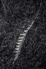 Resting (JeffStewartPhotos) Tags: leaf fern ontheground lying resting fallen walkingwithandrews autumn fall brucetrail twissroad burlington ontario canada hiking walking photowalk photowalks takingphotoswithmyson hikingwithmyson beautifulafternoon greatday enjoyment familytime exploring outandabout thanksgiving jsp2019101424 jsp8502 blackandwhite blackwhite bw toned