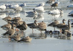 Greater White-fronted Goose (casparc) Tags: 2019 bird goose snowgoose greaterwhitefrontedgoose
