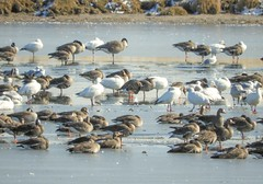 Greater White-fronted & Snow Geese (casparc) Tags: 2019 bird goose snowgoose greaterwhitefrontedgoose