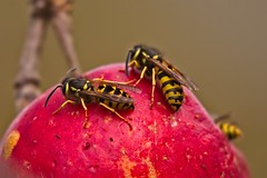 Delicious Fall Apple (macromerriment) Tags: deliciousfallapple apple fall malusdomestica nature fauna outdoors outside wildlife vespula dolichovespula wasp insect insecta flora colour color light red reifelbirdsanctuary delta bc britishcolumbia canada