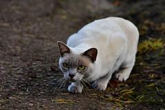 Predator (andrewmckie) Tags: cat predator bastyweenastard rbge royalbotanicgardens edinburgh mammals