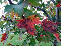 Red And Green Leaves. (dccradio) Tags: lumberton nc northcarolina robesoncounty tuesday morning tuesdaymorning goodmorning samsung galaxy smj727v j7v cellphone cellphonepicture outdoors outdoor outside nature natural tree trees branch treebranch treebranches branches northeastpark raymondbpenningtonathleticcomplex penningtonathleticcomplex park citypark leaf leaves foliage autumn fall cloudy overcast grass lawn greenery yard ground