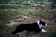 DSC00587 (k3d04k) Tags: dog dogs cute australian shepherd running playing
