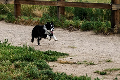 DSC00488 (k3d04k) Tags: dog dogs cute running bounding jumping australian playing
